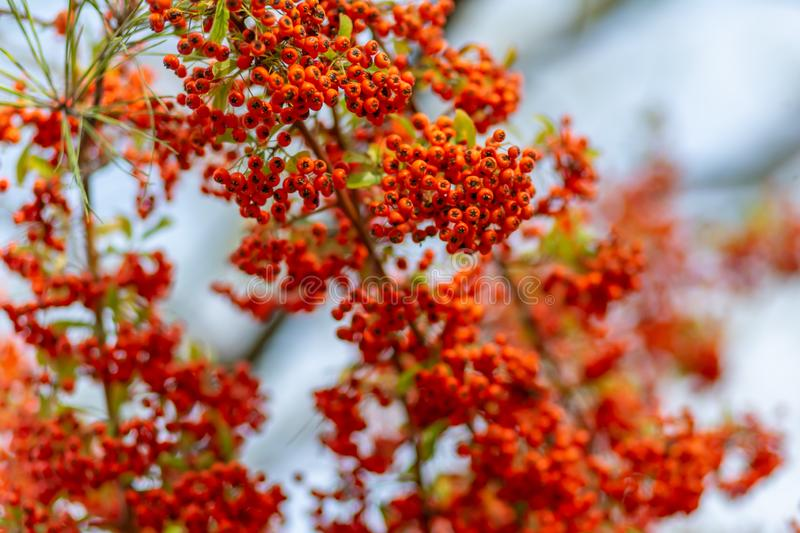 Red berries of the hawthorn grow on the branches. Small red berries with green leaves. Hawthorn autumn berries. Soft focus. stock images