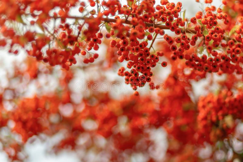 Red berries of the hawthorn grow on the branches. Small red berries with green leaves. Hawthorn autumn berries. Soft focus. stock photography