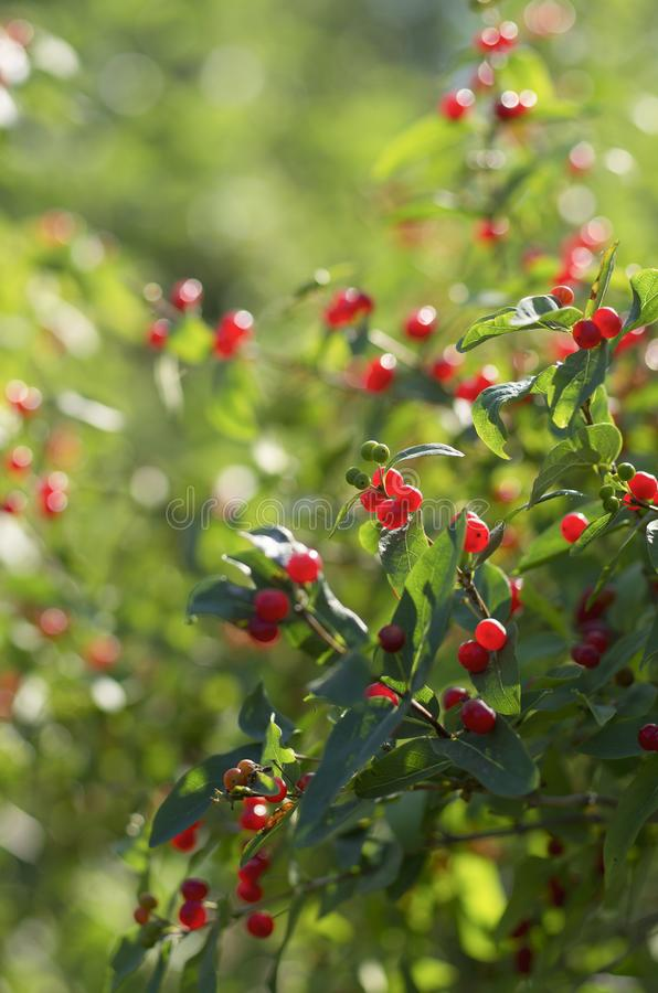 Red berries of honeysuckle with beautiful bokeh stock photo