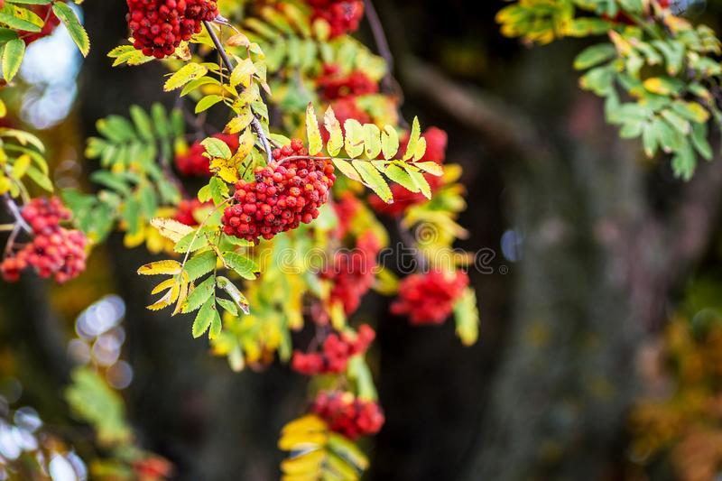 Red berries of the mountain ash on the background of a dark tree trunk_ royalty free stock photography
