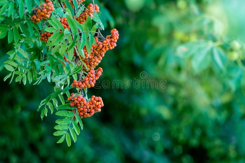 Red berries of the mountain ash on the background of green leaves. Copy space_ stock photo