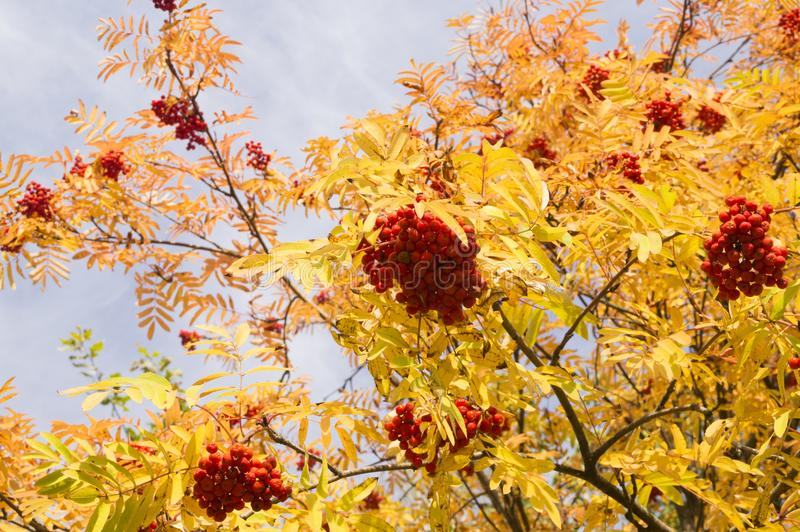 Red berries of mountain ash on a blue sky background. Red berries of mountain ash royalty free stock photography