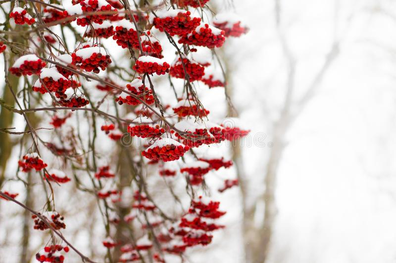Red berries of mountain ash, covered with snow on a winter day. Free space for text insertion stock image