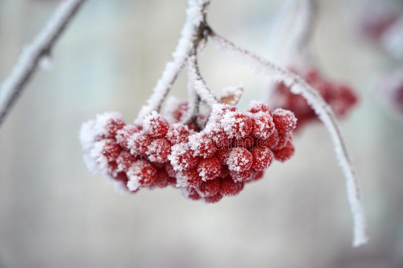 The red berries of the mountain ash are covered with snow. winter, frosty day stock photo