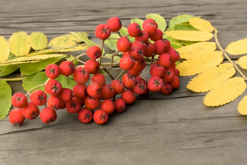 Red berries of mountain ash with green and yellow leaves on a da. Rk wooden background stock images