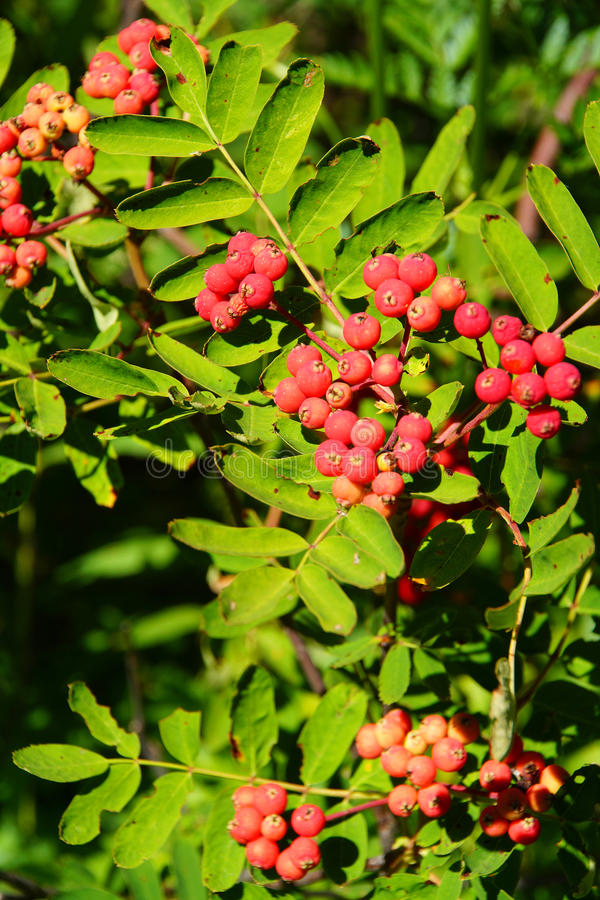 Red berries on mountain ash stock photo