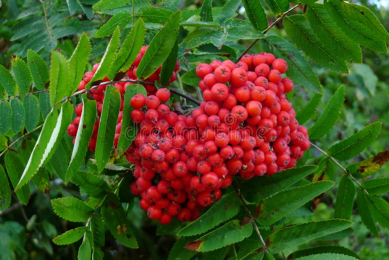 Red Berries on a Mountain Ash Tree. Red berries on a mountain ash or rowan tree royalty free stock photo