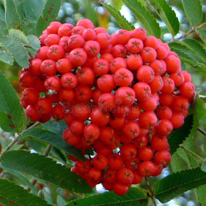 Red Berries on a Mountain Ash Tree. Red berries on a mountain ash or rowan tree stock images