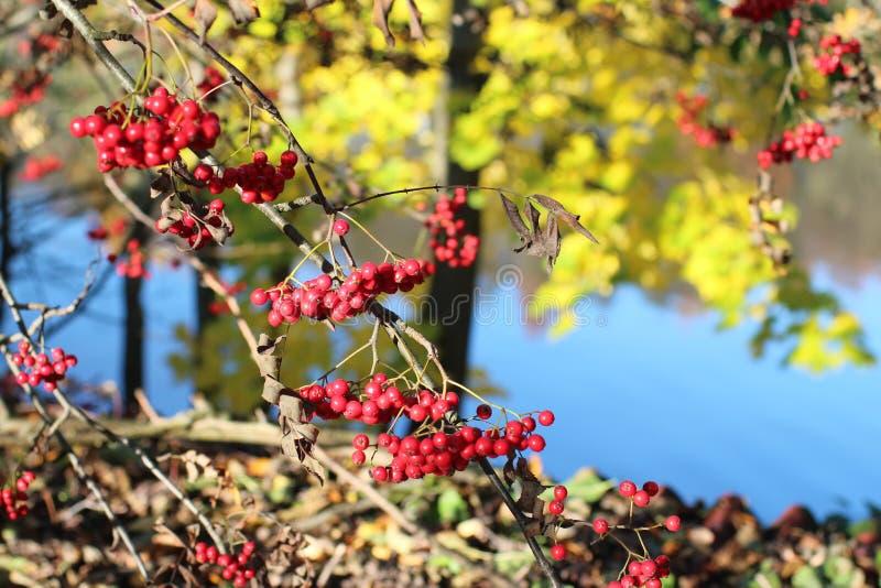 Red berries of mountain ash sun illuminates stock image