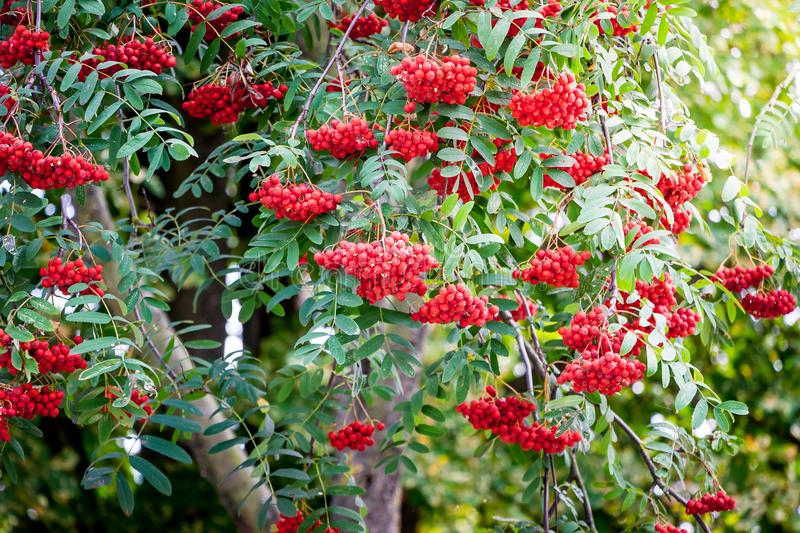 Red berries of mountain ash on a tree_. Red berries of mountain ash on a tree royalty free stock photo