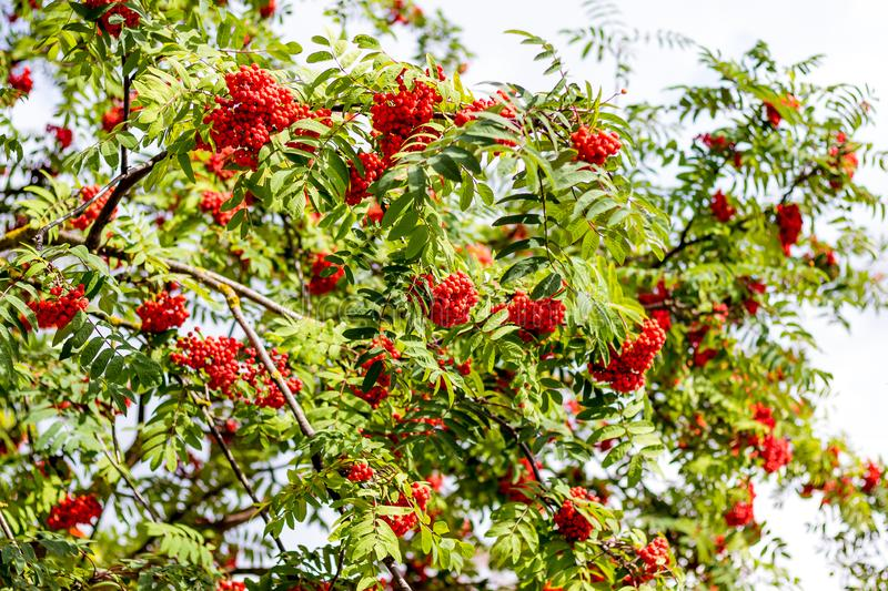 Red berries of mountain ash on a tree. Abundant crop of rowan berries_ stock photo