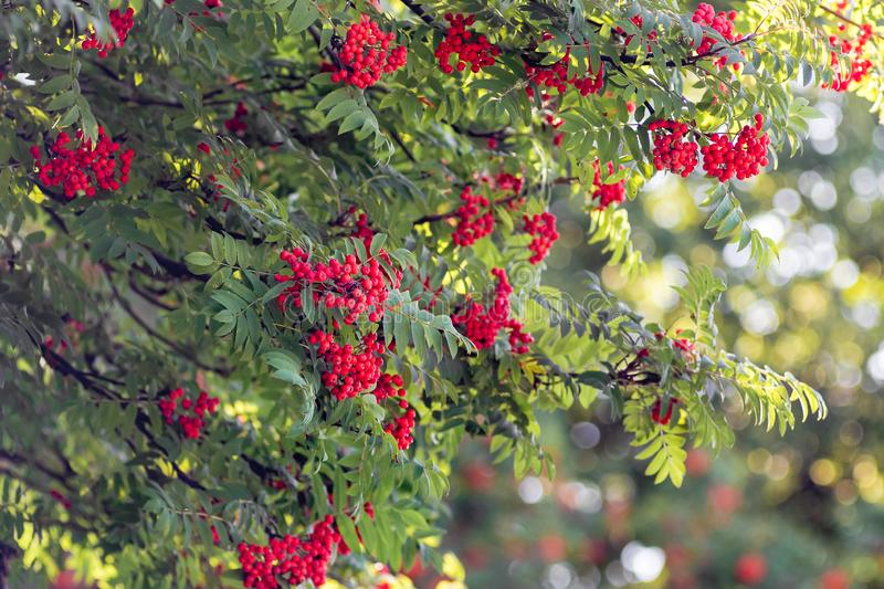 Red berries of mountain ash on a tree on a clear sunny day_ royalty free stock photos