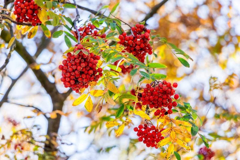 Red berries in the mountain ash on the tree among the colorful autumn leaves_ stock images