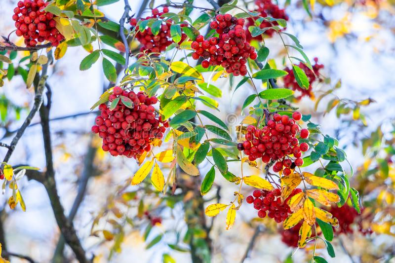 Red berries of mountain ash on a tree in sunny weather_. Red berries of mountain ash on a tree in sunny weather stock image