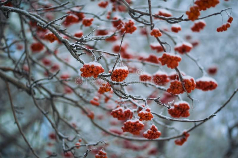 Red berries of mountain ash under the snow. royalty free stock image