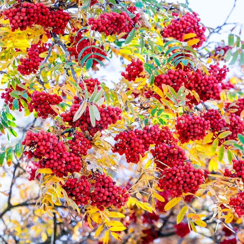 Red berries of the mountain ash among the yellow leaves in autumn_ stock photo