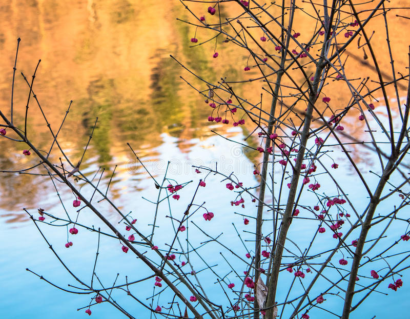 Red Berries next to the Bue and Yellow River. Red Berries next to the River; blue Background during Winter stock image