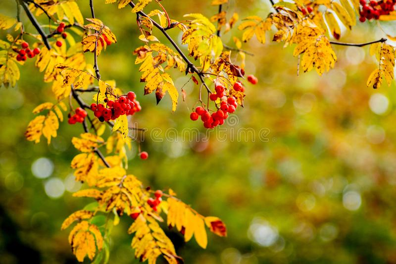 Red berries and orange leaves of the mountain ash in the autumn_ royalty free stock photography