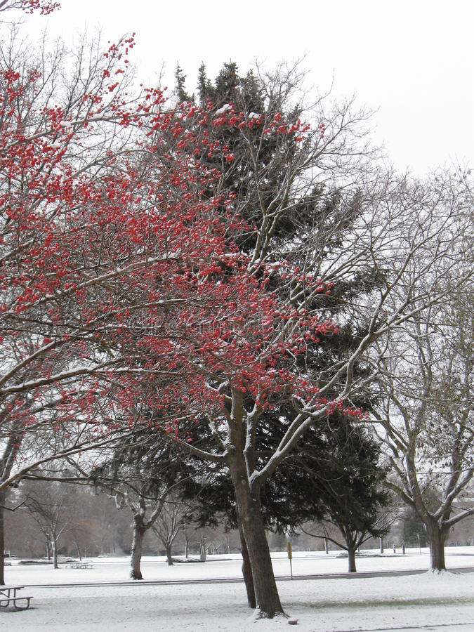 Download Red Berries And Pine Tree Morrison Park Boise Idaho Stock Photo - Image of trees, boise: 81116304
