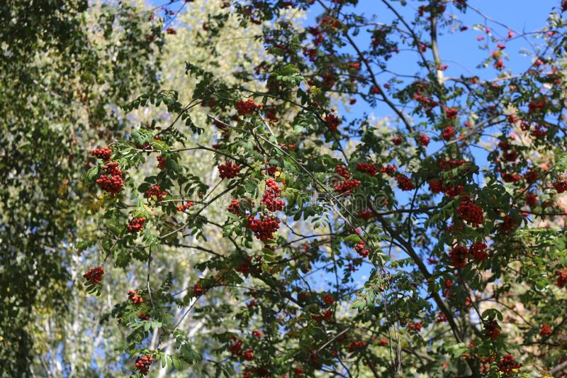 Red berries ripened on a mountain ash tree royalty free stock image