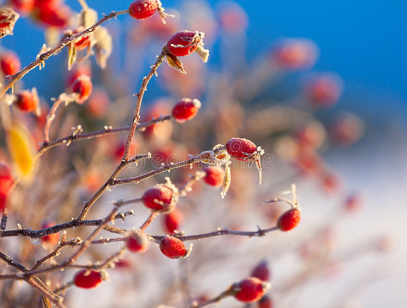 The red berries of a rose-hip in the winter in snow stock images