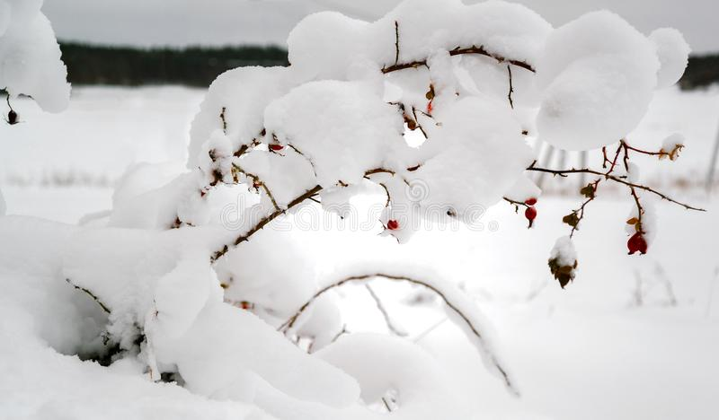 Red berries of a rosehip on snowy branches. Of a shrub in snowy field with a forest on background royalty free stock photos