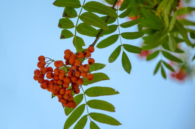 Red berries rowan on blue sky background autumn is coming soon. Red berries rowan on a background of blue sky soon autumn rowanberry with green leaves stock photography