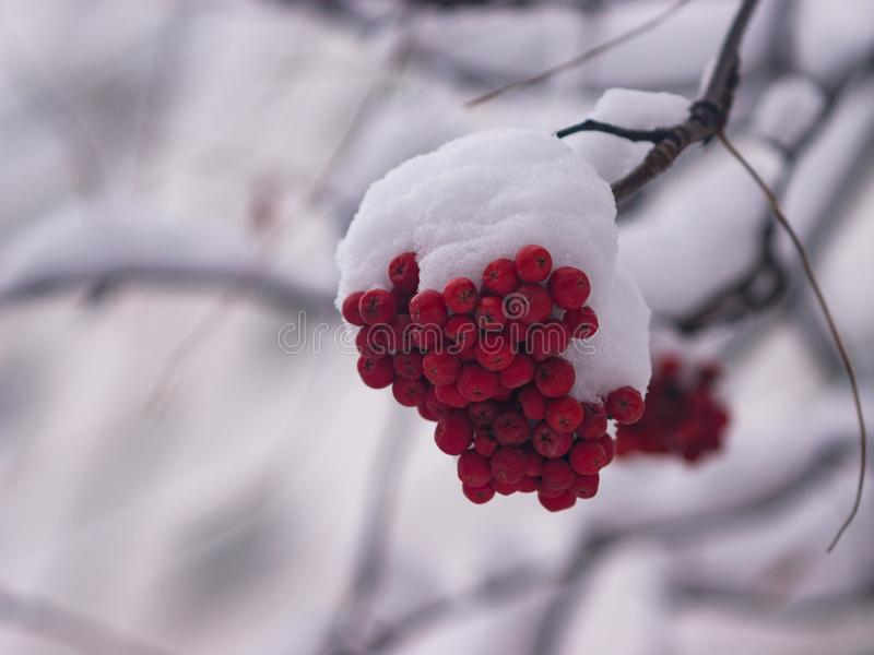 Red berries of rowan or mountain ash under snow in winter close-up, selective focus, shallow DOF.  royalty free stock photo