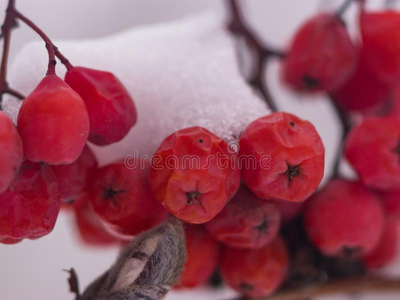 Red berries of rowan or mountain ash under snow in winter close-up, selective focus, shallow DOF.  stock photo