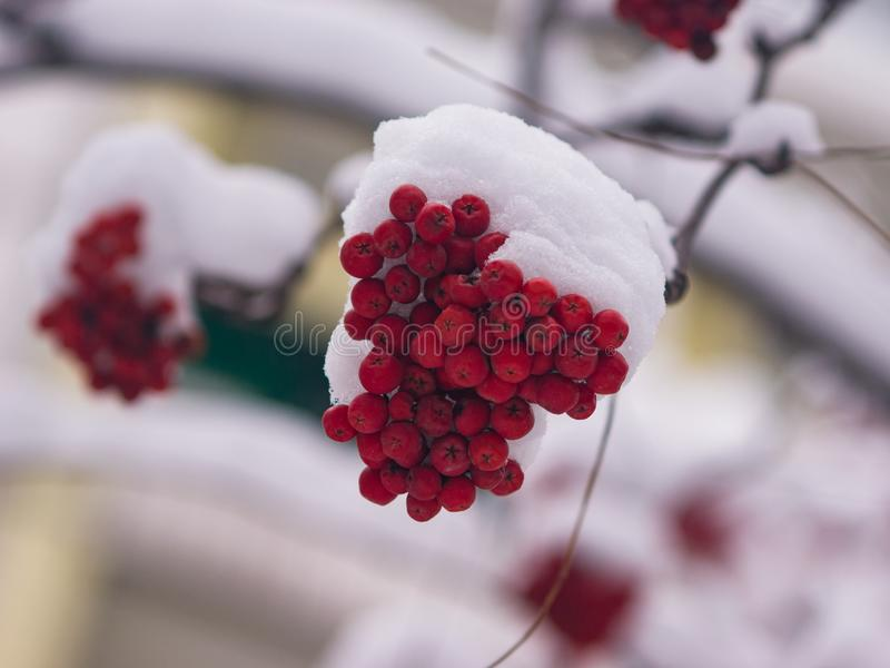 Red berries of rowan or mountain ash under snow in winter close-up, selective focus, shallow DOF.  royalty free stock photos