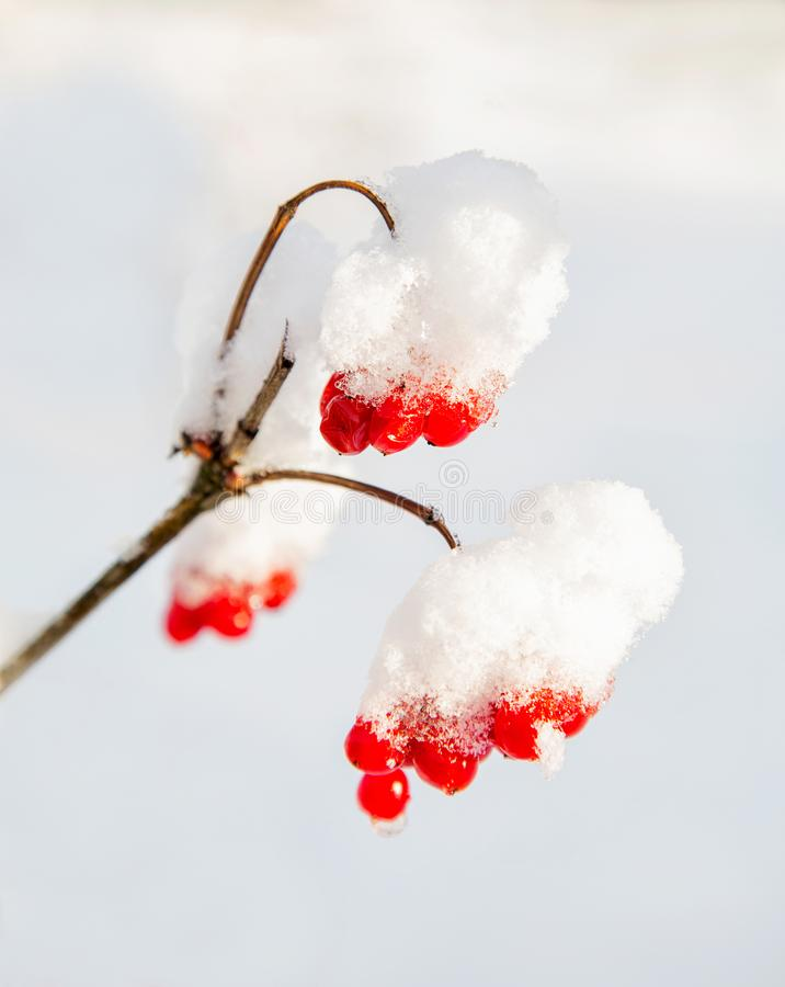 Red berries rowanberry on a branch under snow stock photos