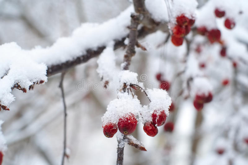 Red berries in the snow. Red berries in fresh fallen snow royalty free stock images