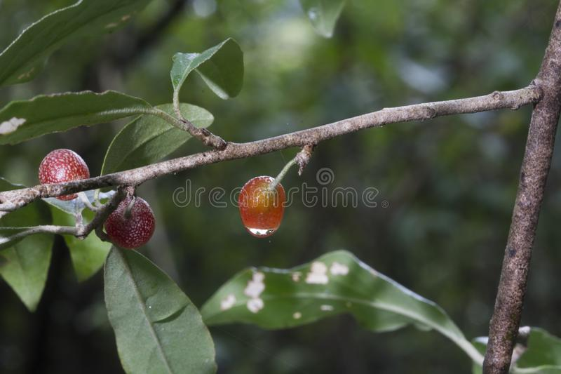 Red berries with water drop royalty free stock image