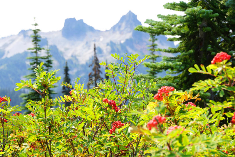 Red berries with Tatoosh range. Red berries on mountain ash, with Tatoosh range in background, Mount Rainier National Park royalty free stock images