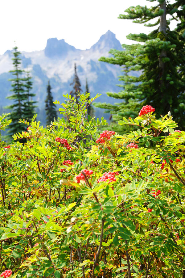 Red berries with Tatoosh range. Red berries on mountain ash, with Tatoosh range in background, Mount Rainier National Park royalty free stock photos