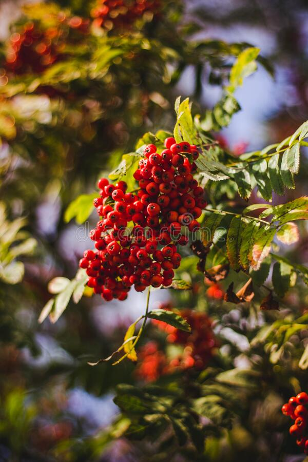Red Berries on Tree stock images