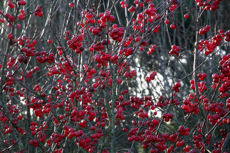 Red Berries on a Tree royalty free stock image
