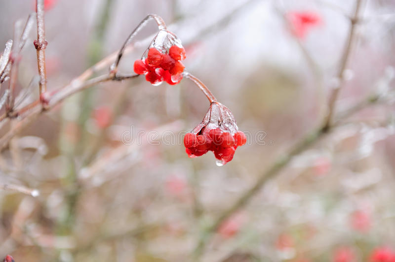 Red berries of Viburnum. In the frost on a branch stock image
