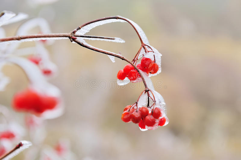 Red berries of Viburnum. In the frost on a branch stock photos