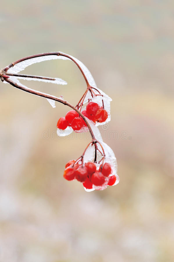 Red berries of Viburnum. In the frost on a branch royalty free stock photo