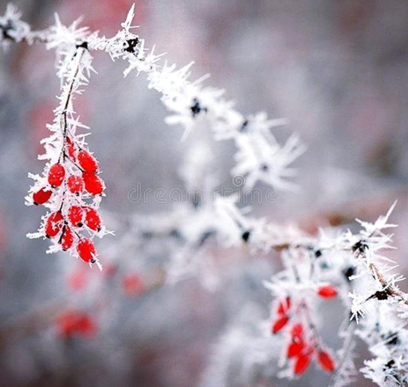 Red berries of viburnum on branch, covered with hoarfrost, close up stock photo