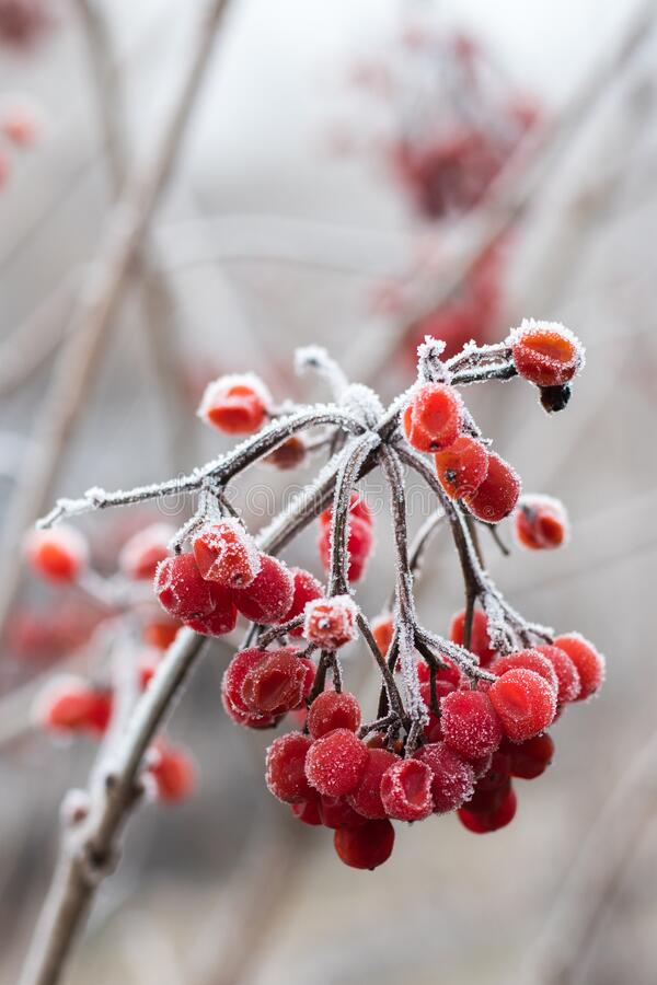 Red berries of viburnum on branch, covered with hoarfrostp stock images