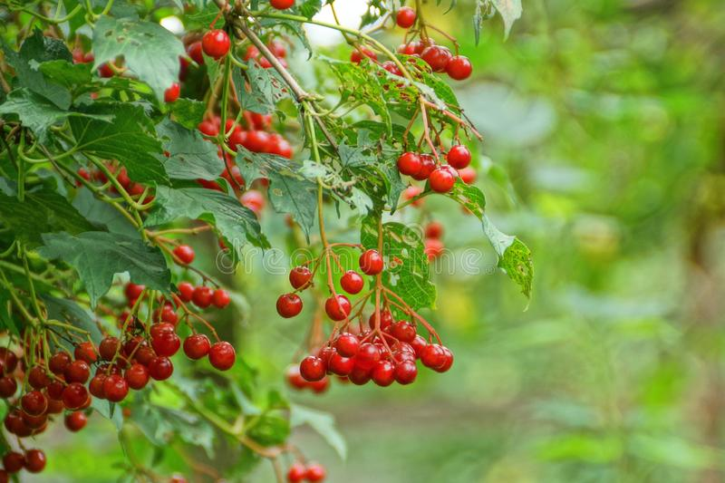 Red berries of viburnum on branches. With green leaves stock photos