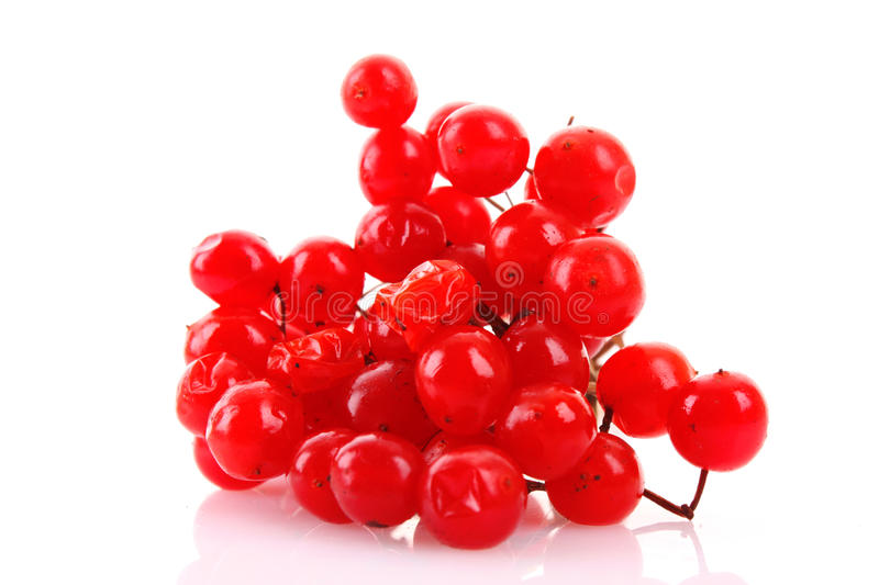 Red berries of viburnum isolated royalty free stock photography