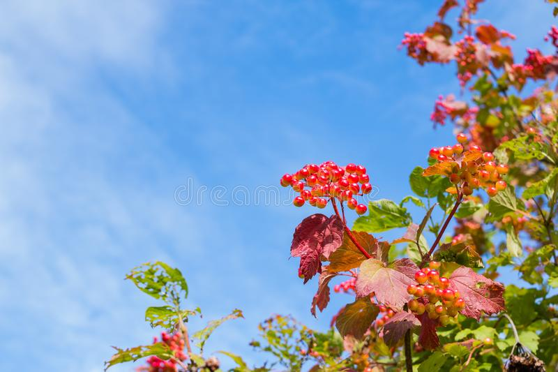 Red berries of a viburnum with red and green leaves on a bush close-up against a blue sky with white clouds,Colorful royalty free stock images