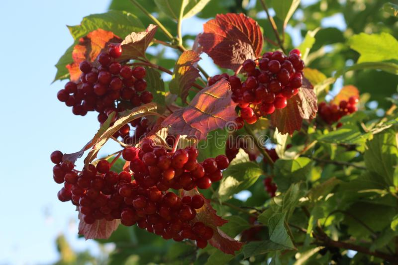 Red berries of viburnum ripened on a bush in late summer stock image