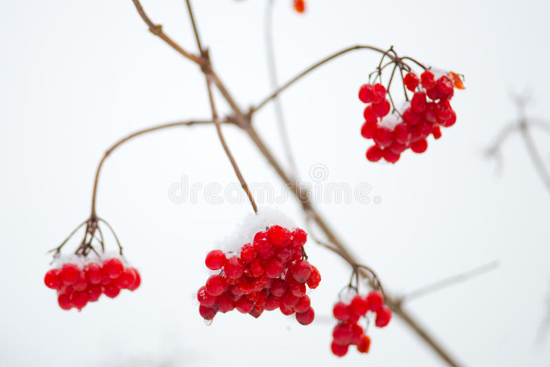 Red berries in winter stock photos