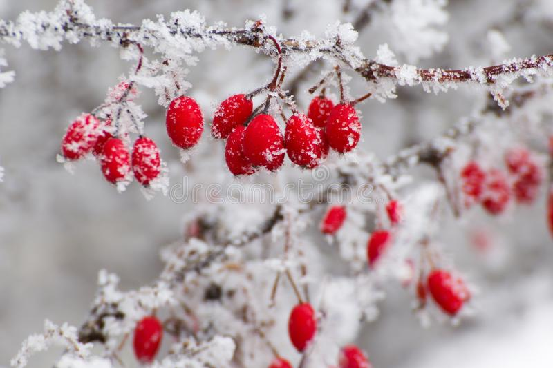 Download Red berries in the winter stock photo. Image of holidays - 83708932