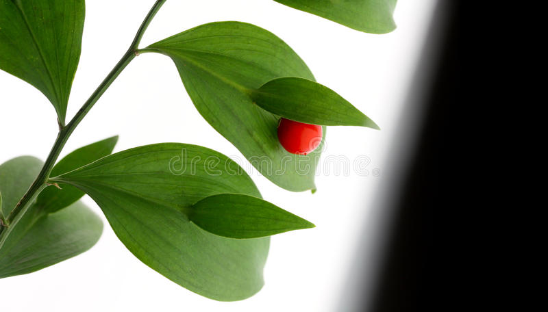 Download Red berry on green brunch stock photo. Image of leaf - 21961332