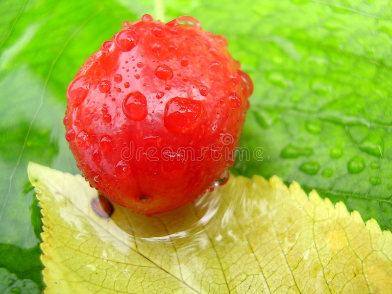 Red berry on leaves. Ripe dew covered red berry on colourful leaves royalty free stock images